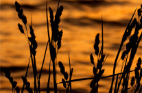 Cat Tail Grass By Lake At Sunset